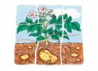 Beleduc Lagen-Puzzle Kartoffel 17043